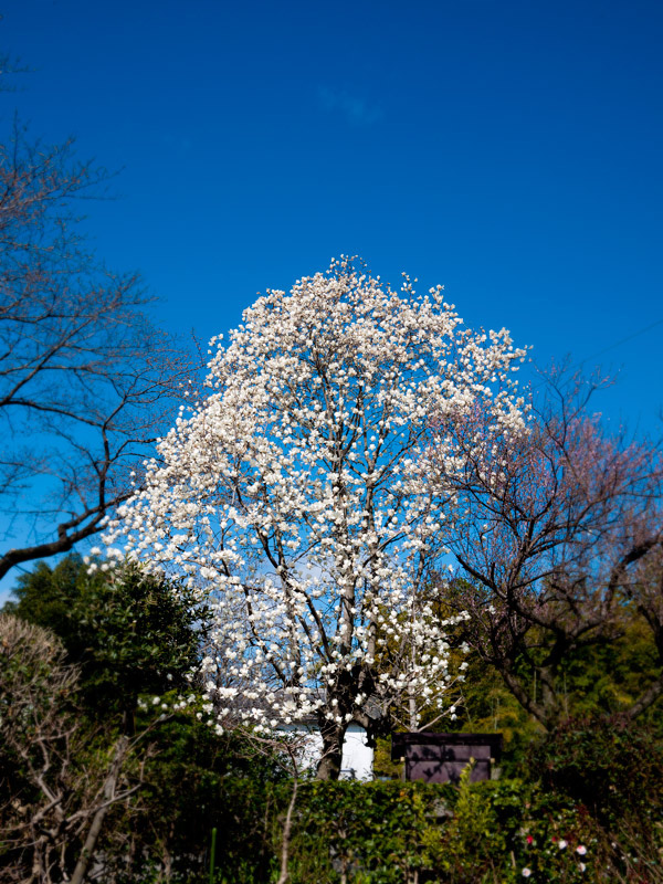 西林寺の木蓮