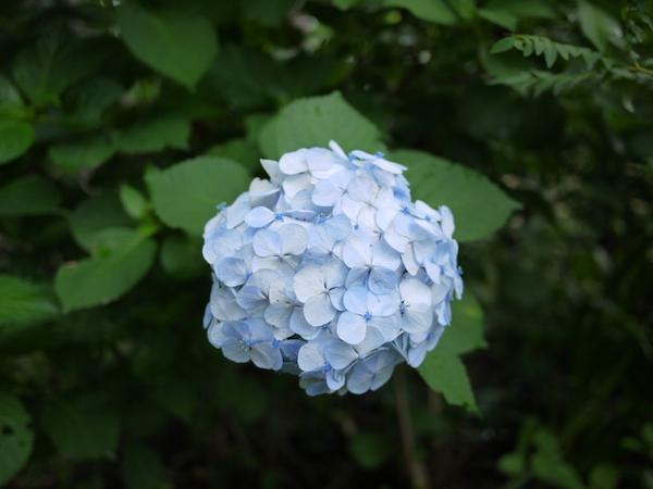 西林寺の紫陽花