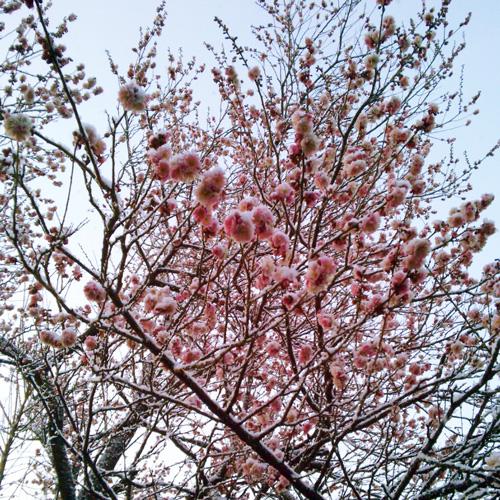 二月の西林寺 浪花の梅